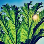 Pfarmers - Gunnera new album