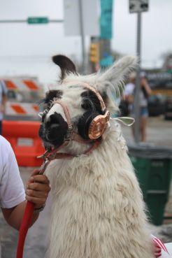 Llama // Photo by Heather Kaplan