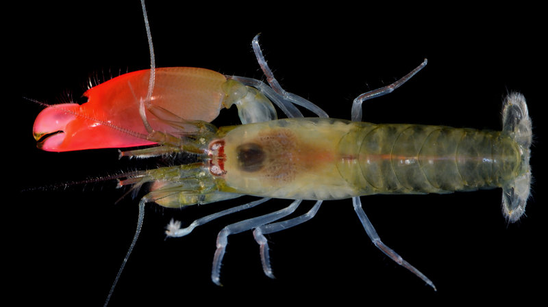 synalpheus pinkfloydi full res by arthur anker wide 9c2af54d2e3fbd8ff5ce32b94126b3a7cbf54066 s800 c85 Pink Floyd just got a deadly loud shrimp named after them