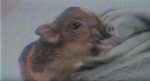 Ariana Grande Pete Davidson Pig Engagement Ring Piggy Smallz