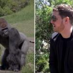 Michael Bublé Gorillas Zoo Christmas Music Australia Werribee