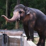 Cher elephant Cambodia escort lonely world's loneliest Kaavan